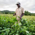 Jamaican farmer